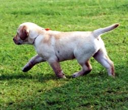 Puppies 2007 yellow on the move