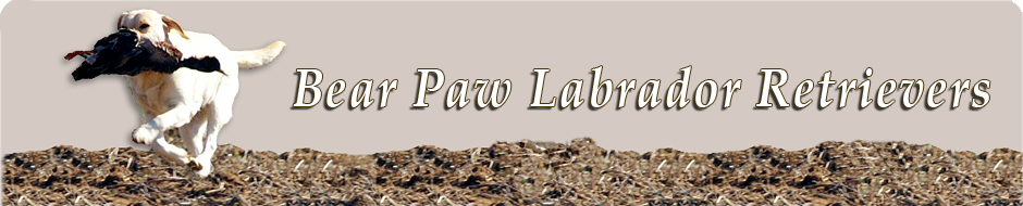 Bear Paw Labrador Retrievers
