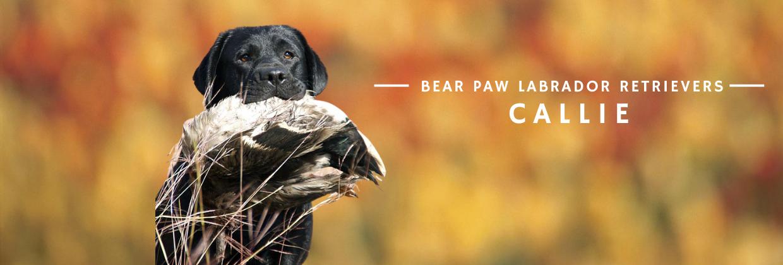 Bear Paw Callie