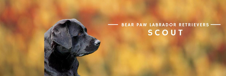 Bear Paw Scout